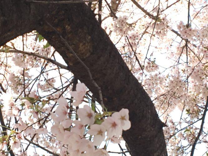 안양천 벚꽃놀이~*